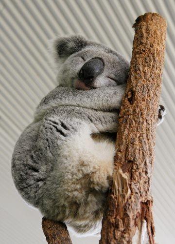 考拉抱大树卡通图片