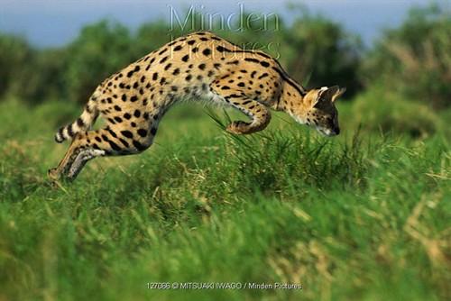 【组图】10种美丽的大型猫科动物