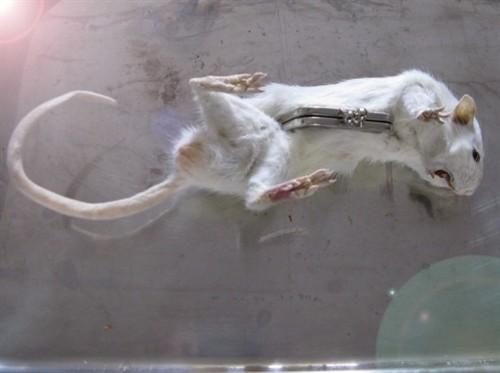 出门捡到只死老鼠,我拿它来扎头发图片