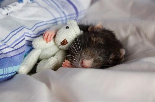 抱着熊宝宝睡觉的小仓鼠