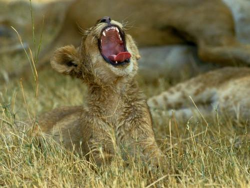 大型猫科动物幼崽萌照 它们在地球上还能待多久?