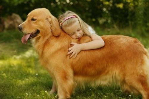 闪着金光摇尾巴的天使 金毛犬