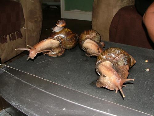 好可爱的~世界上最大的蜗牛!名贵宠物,100美元一对