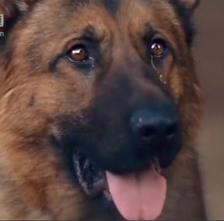 丁丁英雄狗狗--任美国盛杰视频图片