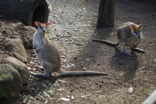 大袋鼠,那尾巴老有劲了-悉尼动物园 袋鼠篇
